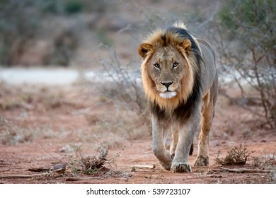 Male Lion walking towards you
