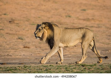A male Lion walks along the Nossob River Bed in the Kalahari with a tall sand dune in the background and green grass in the foreground.