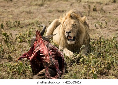 Male lion watching his food in the african savanna