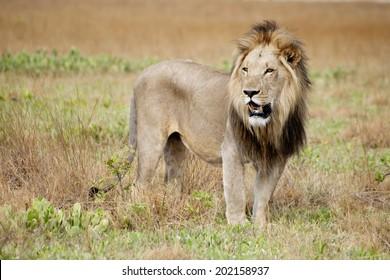 Male Lion in the Wild, on Liuwa Plains, Zambia, Africa