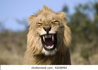Male lion yawning.