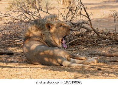 Male Lion yawning in Erindi Private Game Reserve, Namibia
