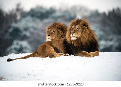 male lions against a background of snow/Lions