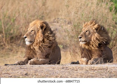 Male Lions, Moremi National Park, Botswana