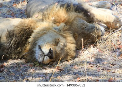 Male lions (Panthera leo) in Moremi, Okavango Delta, Botswana. Lions are a threatened species with declining populations due to habitat loss and conflict with humans.