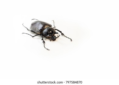 A male living Megaoma actaeon beetle isolated on white background. One of the heaviest insects in the world!