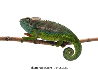 Male lizard Madagascar spiny Chameleon isolated on white background
