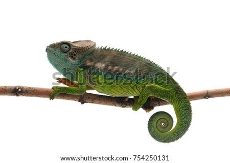 Male lizard Madagascar spiny