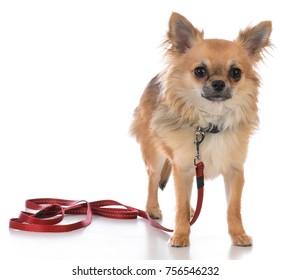 male long coat chiuhuahua on a leash on white background