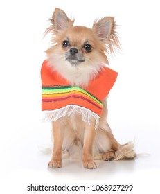 male long haired chihuahua sitting on white background