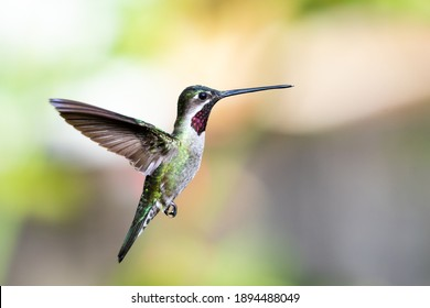 A male Long-billed Starthroat hovering in a garden with a blurred background. Wildlife in nature. Bird in wild.