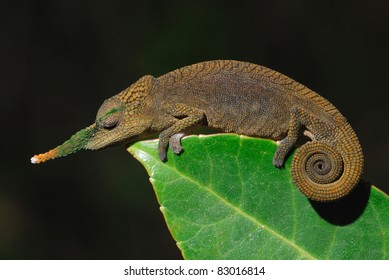 Male Long-nosed Chameleon (Calumma gallus) in the madagascan rainforest