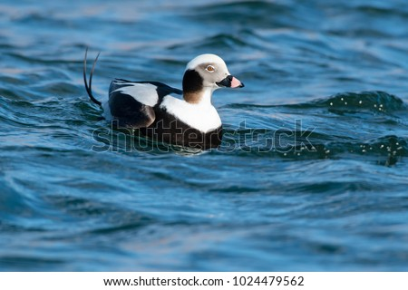 Male Long-tailed Duck. surfing a small wave in the choppy water. Tommy Thompson Park, Toronto, Ontario, Canada.