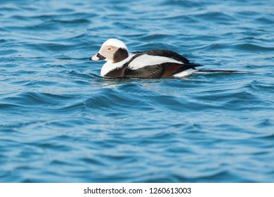 Male Long-tailed Duck swimming in the open water. Tommy Thompson Park, Toronto, Ontario, Canada.
