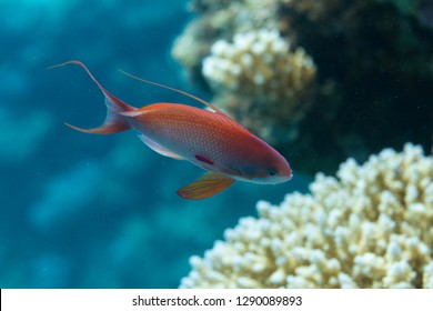 Male Lyretail Anthias on Coral Reef in Red Sea off Dahab, Egypt