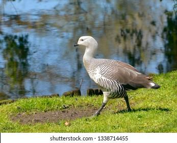 Male Magellan goose or upland goose (Chloephaga picta) walking on grass near of a pond