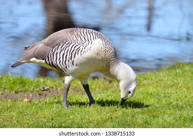 Male Magellan goose or upland goose (Chloephaga picta) eating on grass near of a pond