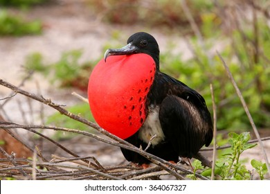 Male Magnificent Frigatebird (Fregata magnificens) with inflated gular sac on North Seymour Island, Galapagos National Park, Ecuador