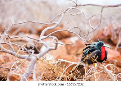Male magnificent frigatebird at Galapagos Island of  North Seymour