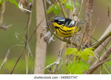 Male Magnolia Warbler perched on a branch. Taylor Creek Park, Toronto, Ontario, Canada.