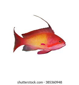 Male Maldivian Lyretail Anthias Pseudanthias squamipinnis isolated on white background
