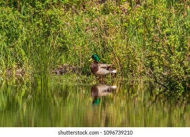Male mallard (Anas platyrhynchos) standing at the edge of a pond in spring with green vegetation and reflections at Park, Seattle.