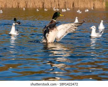 Male Mallard Drake Duck flapping Wings in water