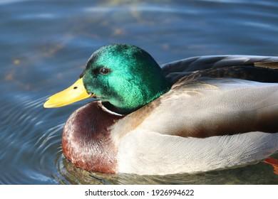 Male Mallard Duck Bird Photography