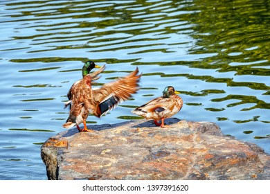 Male mallard duck dabbler flapping his wings and flirting with the female dabbling duck on a rock near the river