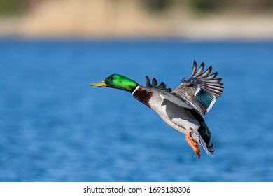 Male mallard duck in flight close up