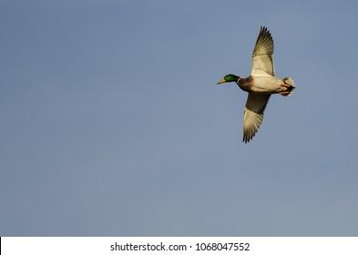 11 233 Mallard Duck Mallard Duck Flying Images Royalty Free Stock