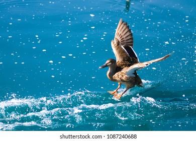 Male Mallard Duck Landing in Lake
