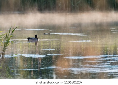 Male Mallard duck in a misty pond by early morning in spring season
