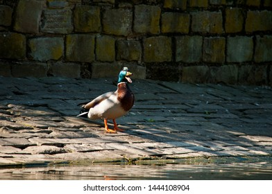 A male Mallard Duck quacking from the stone banks of a pond