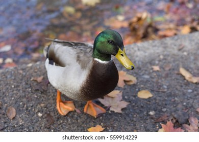 Male Mallard Duck Stands Next to Creek and Fall Leaves