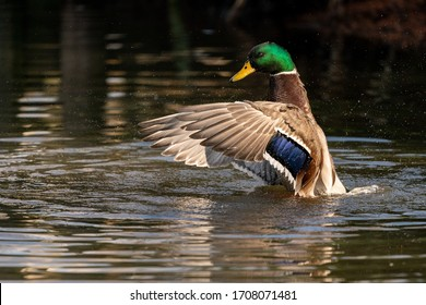 A male mallard duck stretching and drying his wings after a bathing session