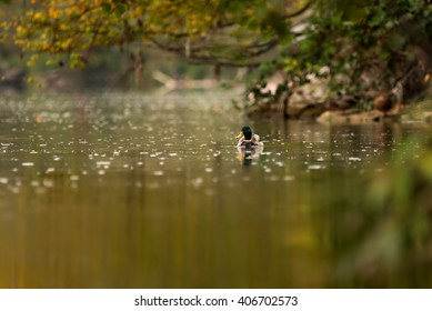 A male mallard duck swims along the Aare River in autumn.