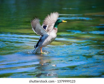 Male Mallard duck taking off from the lake water surface, spreading wings and splashing water around.