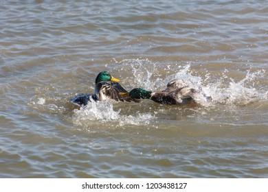 Male Mallard Ducks fight for female in Vancouver BC Canada.
