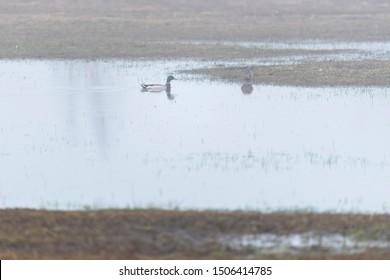 Male mallard in misty lake.