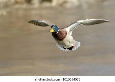 A male mallard preparing to land.