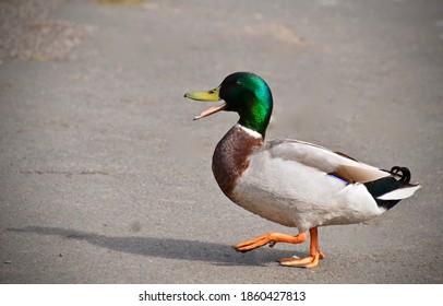 Male Mallard Quacking whilst Waddling along