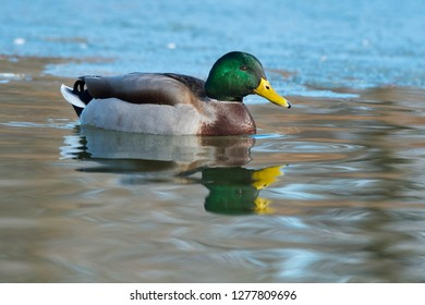 Male Mallard swimming in the water at the edge of the ice. Humber Bay Park, Toronto, Ontario, Canada.