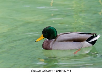 Male mallard wild duck with glossy green head, brown speckled plumage swimming on lake in Europe (Anas fulvigula)