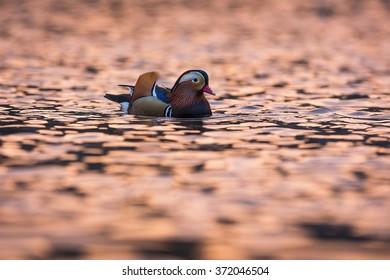 Male mandarin duck at sunset.