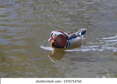 male mandarin duck swimming in a ditch in the village of Nieuwerkerk aan den IJssel in the Netherlands