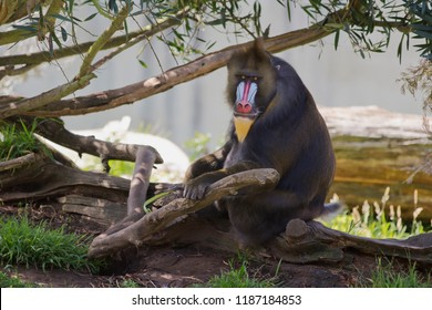 A male Mandrill sitting in a natural environment.