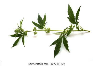 Male Marijuana Plant with Flowers and Leaves. Isolated on white. Room for text. Close Up view.