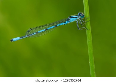 Male Marsh Bluet Damselfly perched on a blade of grass. Tiny Marsh Provincial Wildlife Area, Elmvale, Ontario, Canada.