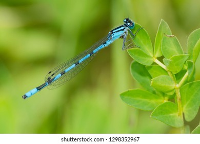 Male Marsh Bluet Damselfly perched on a leaf. Tiny Marsh Provincial Wildlife Area, Elmvale, Ontario, Canada.